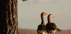 wild-geese-couple-ruben-vicente-1170x563